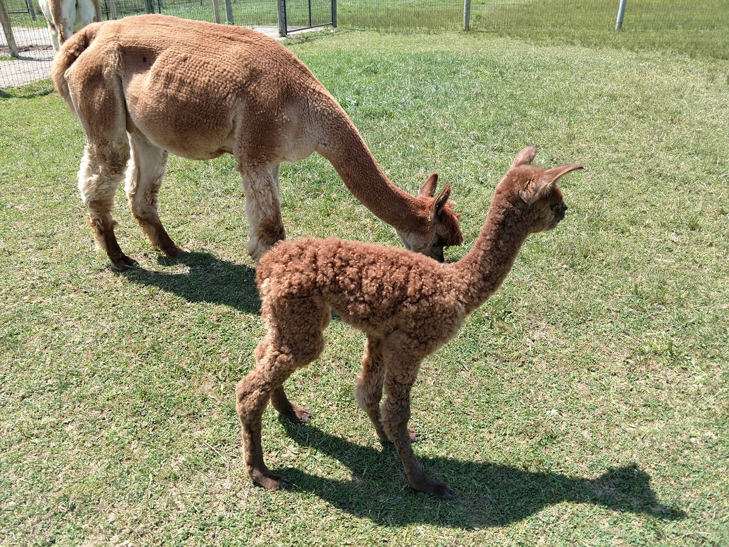 This Adorable Alpaca Farm Two Hours Outside Columbus Will Make You Feel All Warm And Fuzzy